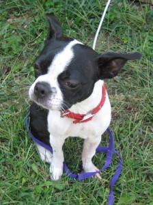 Glenda is an 18 month old Boston Terrier that is recovering from a fracture in her right front leg.