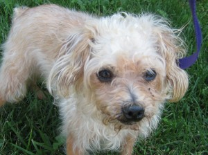 Pacifica is a 6-7 year old Poodle mix