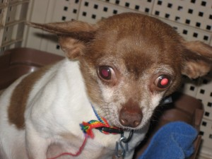 Reba is a 5lb, 6 year old puppy mill survivor that needs you to love her and show her the way!